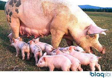 Blaqsbi | Post: WHY PIG FARMING IS LUCRATIVEA single pig gives